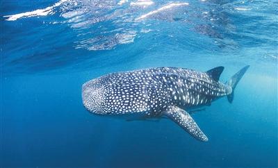温暖浅水区 海床陡坡 鲸鲨选择这些聚集地