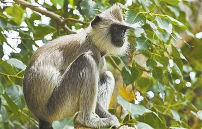 太少见!亚洲叶猴不爱甜食
