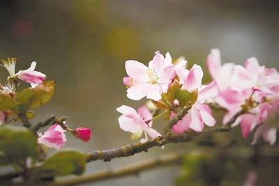 """""""不安分""""海棠竟在冬天开花"""