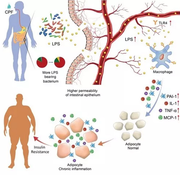 有机磷农药导致肥胖及胰岛素抗性机制揭示