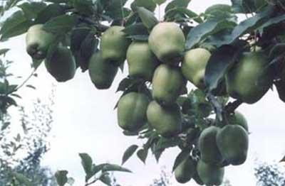 质资源圃,国家苹果育种中心