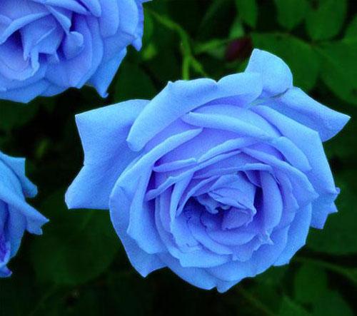 马克玫瑰花画法步骤