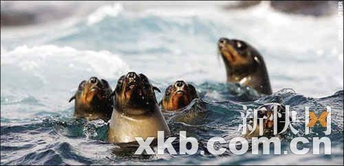 论坛:英摄影师拍下海豹从鲨鱼口中逃生惊险场面