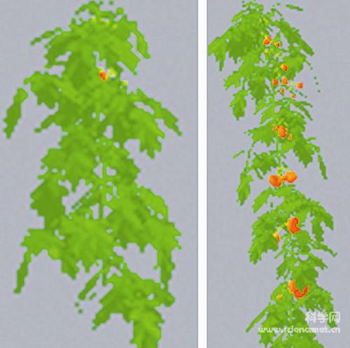 虚拟植物生长过程(西红柿)