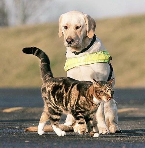 小猫利奥高高竖起尾巴从尤科前走过-英国用猫训练考核导盲犬