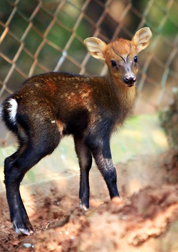 安徽皖南野生动物救护中心成功繁殖黑麂