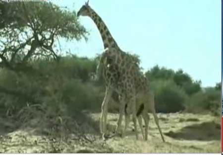 组图:搞笑的动物 长颈鹿互殴竟然拿长脖子甩 (9)