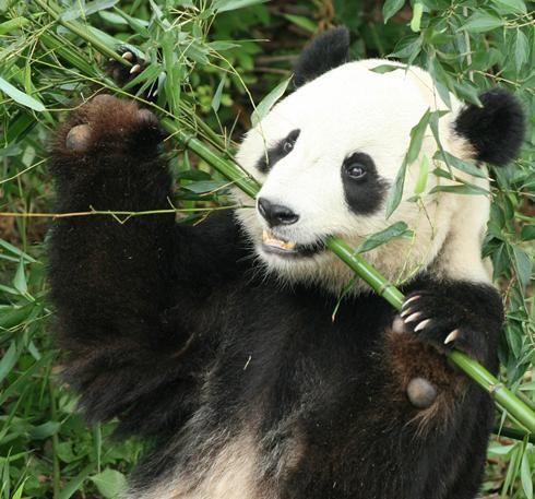 超级可爱的熊猫!